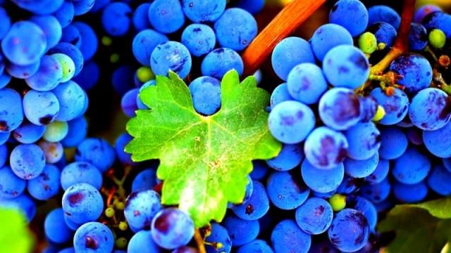 innovatsionnye-tekhnologii-vyrashchivaniya-vinograda