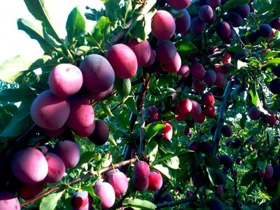 vliyanie-tsirkona-na-zavyazyvaemost-plodov-kostochkovykh-kultur