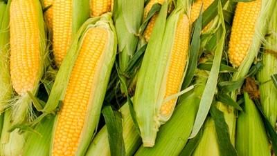 effektivnost-primeneniya-regulyatorov-rosta-rastenij-epina-ekstra-i-tsirkona-na-kukuruze