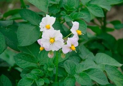 primenenie-siliplanta-dlya-snizheniya-pestitsidnoj-nagruzki-i-povysheniya-urozhajnosti-kartofelya